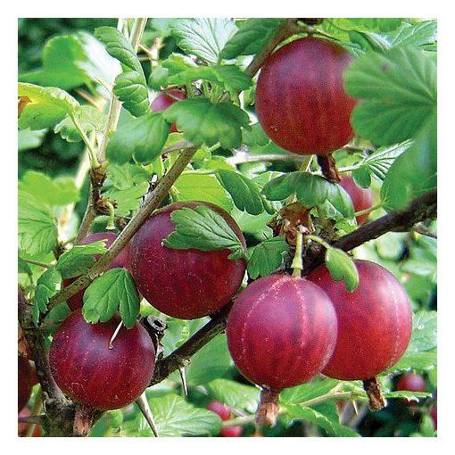 Ribes grossularia 'Hinnomaki Piros' - Egres