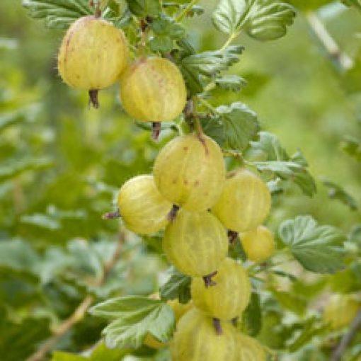 Ribes grossularia 'Invicta' - Egres