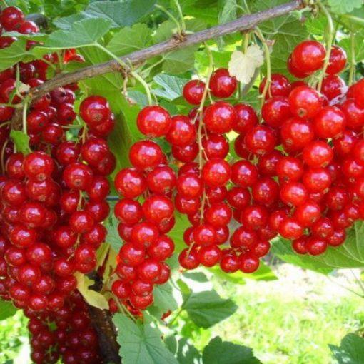Ribes rubrum 'Jonker van Tets' - Piros ribizli