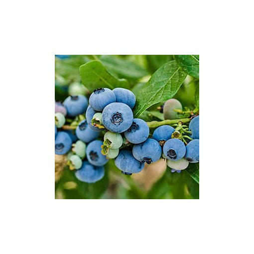 Blueray áfonyatő