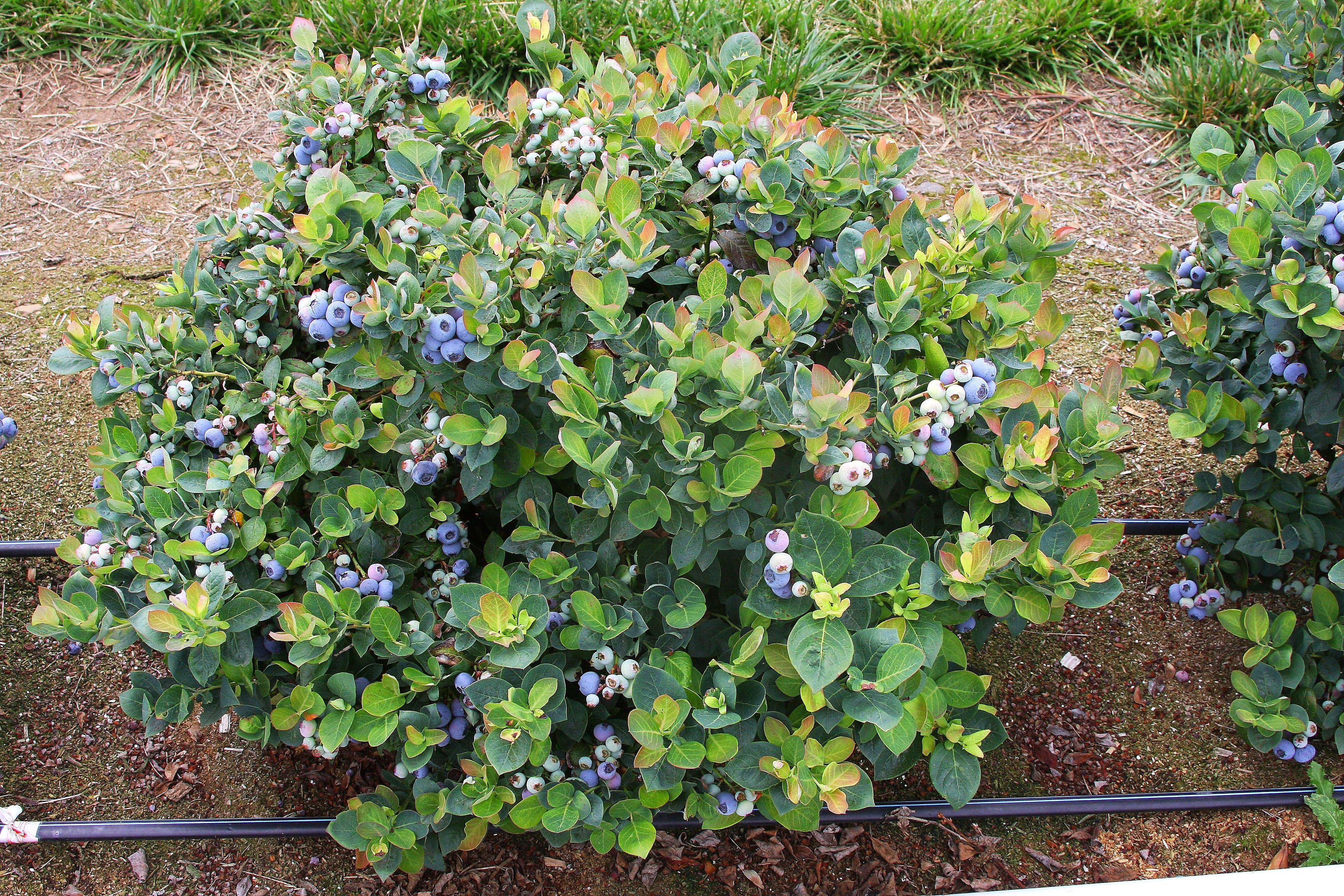 Áfonya bokor ültetési- és ápolási tippek – 2.rész